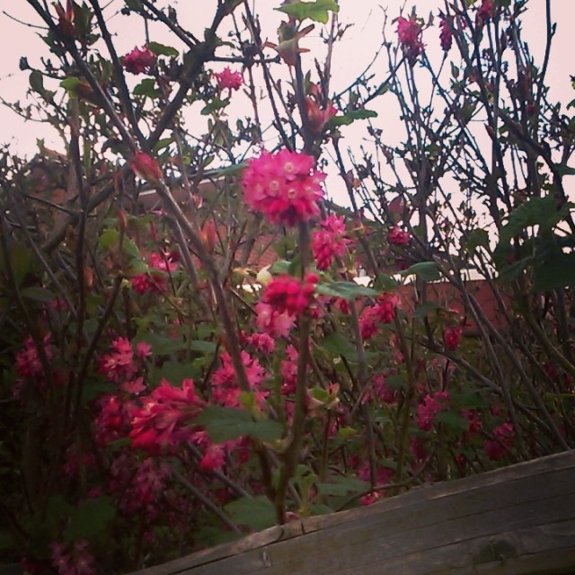 Some kind of shrub with bright pink blossoms peeking over a fence.