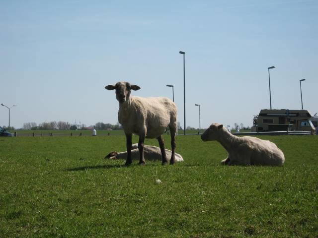 East Frisia sheep