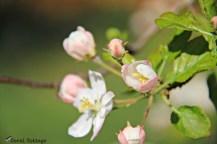 pink apple blooms