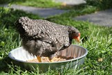 barred rock in the food dish