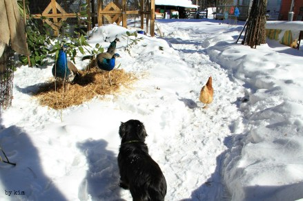 The peafowl watch Ethyl make her way down the path supervised by Boo