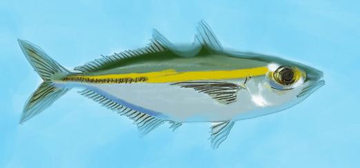 Akule (Bigeye Scad)