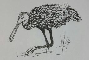 Limpkin Sketch