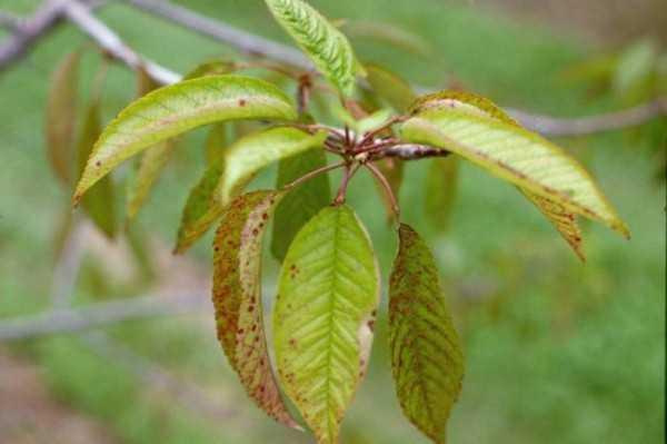 листья вишни при беременности