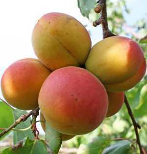 Польза и вред абрикосов для здоровья организма человека