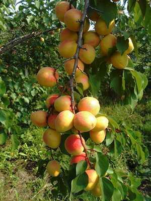 Полезные, лечебные свойства и противопоказания абрикосов
