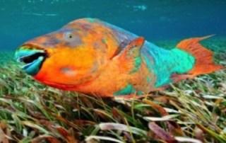 Los peces loro mexicanos entran a la lista de especies mexicanas en riesgo