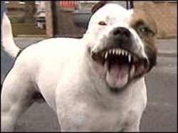 Pit Bull Shot By Coral Springs Dog Walker After Attacking Boxer