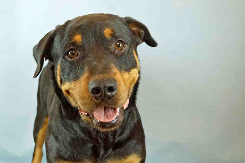 My name is Diamond ID#A524190. I am a female, black and tan Rottweiler mix and weigh about 75 pounds.  Please adopt me.