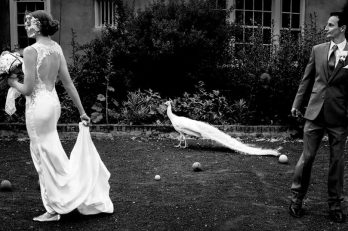 Albert the Peacock and a Game of Croquet with the Bride & Groom