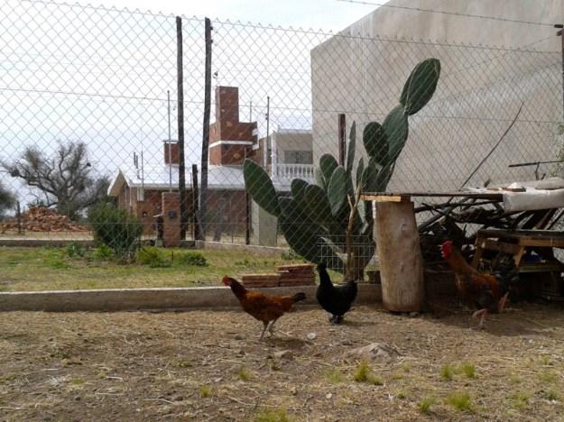 Gallinas ponedoras (y uno de los gallos del corral).