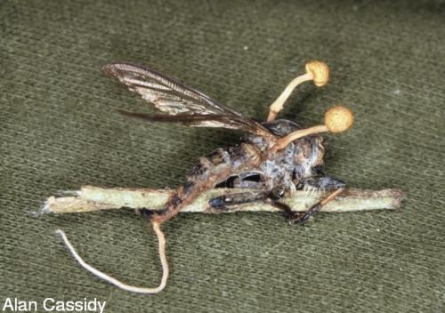 https://i2.wp.com/cordyceps.us/files/imagecache/preview/species/Cordyceps800.jpg