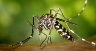 Thanks to unintentional reintroductions and adaptive strategies that enable it to survive the state's harsh winters, the Asian tiger mosquito is becoming more abundant in Illinois.