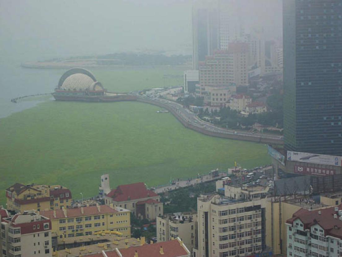 Qingdoa green tide 2008 © Elsevier