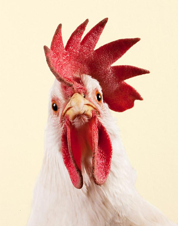 chickenwhite.jpg