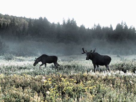 a stare down with a moose on Mount Katahdin