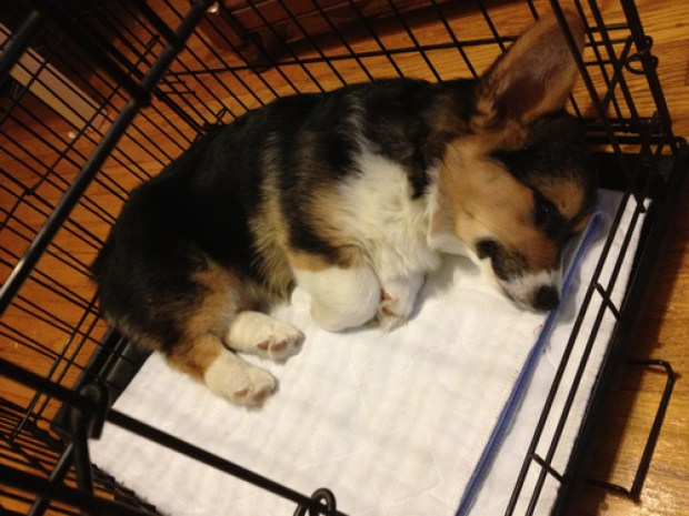 Cardigan Welsh Corgi Crate Training