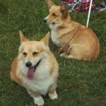 Spaying your Welsh Corgi