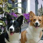 Cardigan and Pembroke Welsh Corgi