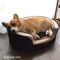 コストコの犬用クッションがお気に入り!
