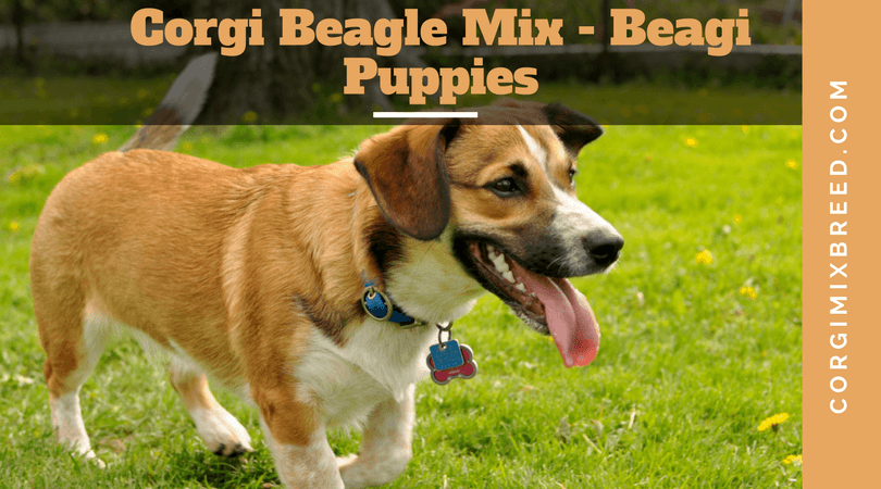 Corgi Beagle Mix – Beagi Puppies