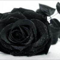 roses28