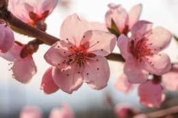 flori-de-piersic