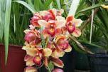 orhidee-24-februarie