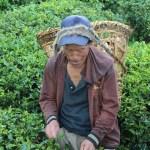 Tea picker, Sikkim, India