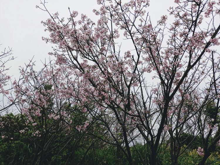 Cherry Blossoms on Lane 42