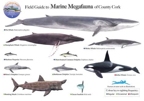 Marine Megafauna of Co. Cork