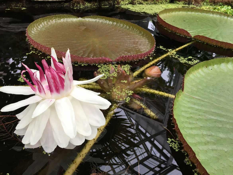 Victoria Lily blooms in Cornell's Liberty Hyde Bailey Hortorium