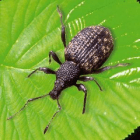 Parasitic threat | Black vine weevils such as these pose a significant threat to a variety of crops vital to New York agriculture.