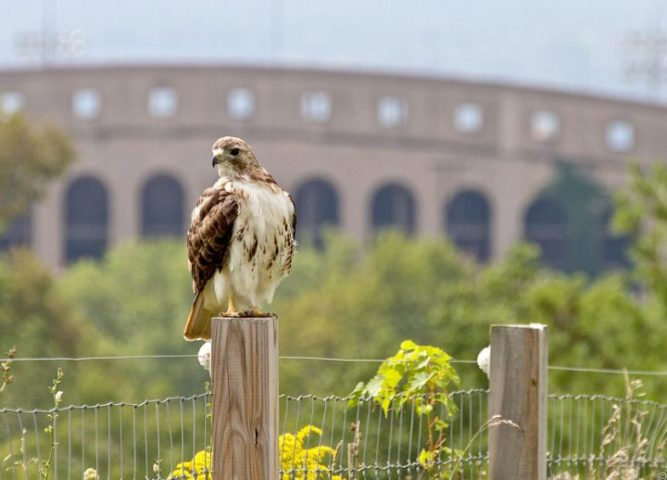 Bird Cam Gives Peep into Birds  Day to Day Lives   The Cornell Daily Sun Red tailed hawks are one of the many birds that can be observed 24    Courtesy of Cornell University