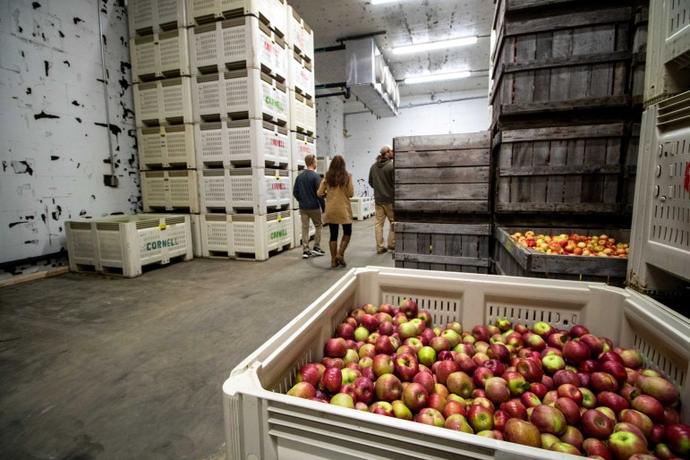 During peak season, the room can house 500 bins of apples, 20 bushels per bin, about 125 apples per bushel — a total of one million apples at maximum capacity.
