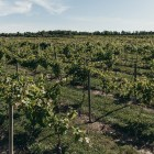 A vineyard overseen by Cornell AgriTech at its campus in Geneva, New York.