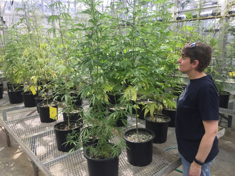 A researcher inspects hemp plants at the AgriTech center in Geneva. Cornell is a leading research institution on hemp in the U.S.