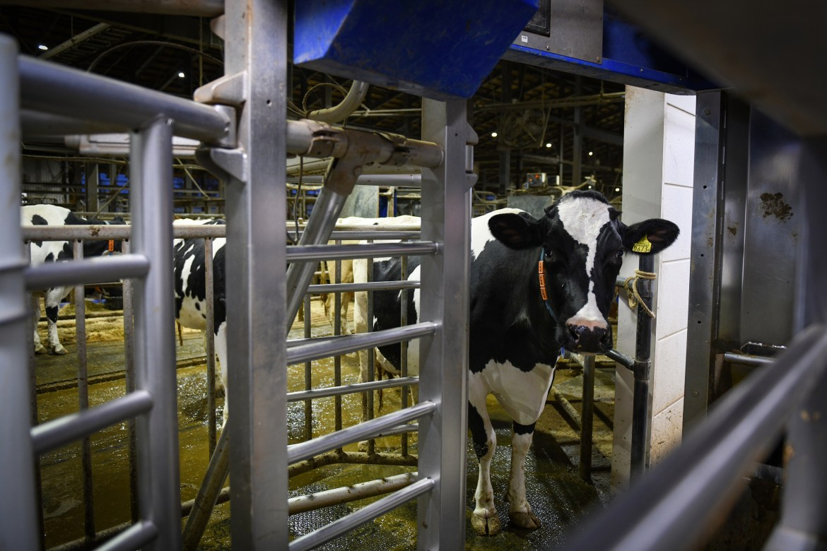 A cow, wearing a sensor that signals to robots when its time for milking, ambles towards a milking machine at the Kalm dairy farm in Ebetsu, on Hokkaido, Japan, Nov. 7, 2019. (Noriko Hayashi/The New York Times)