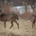 Deer graze in a field that often draws wildlife in Clarkstown, N.Y.