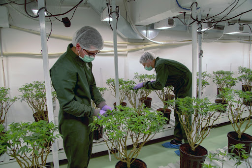 Photo caption: Loulou D'Aki / NYT Photos - Cornell scientists caring for their high maintenance research.