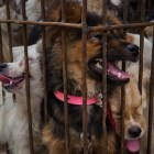 Dogs for sale to eat or as pets in Yulin, China. (Adam Dean / The New York Times)
