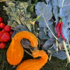 Harvest at a Community Supported Agriculture (CSA) plot. (Brianna Johnson / Sun Contributor)