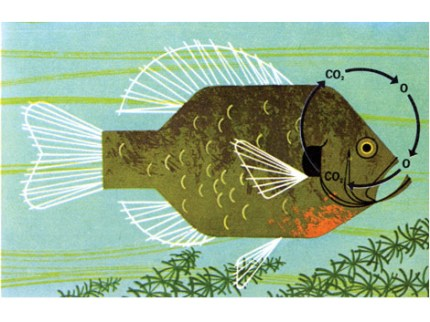 Fish Respiration by Charley Harper. The Giant Golden Book of Biology, 1961
