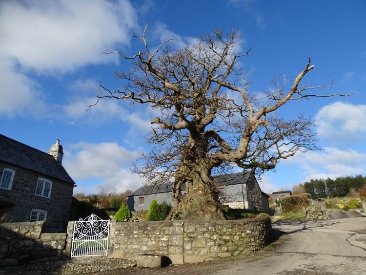 Cornwall's oldest tree