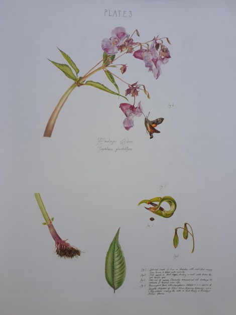 Cornish illustrator Sarah Jane Humphrey Botanical Art