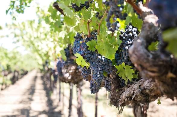 Cornish vineyard