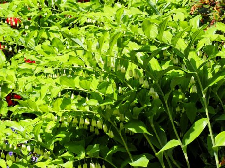 Solomon's Seal (Polygonatum)