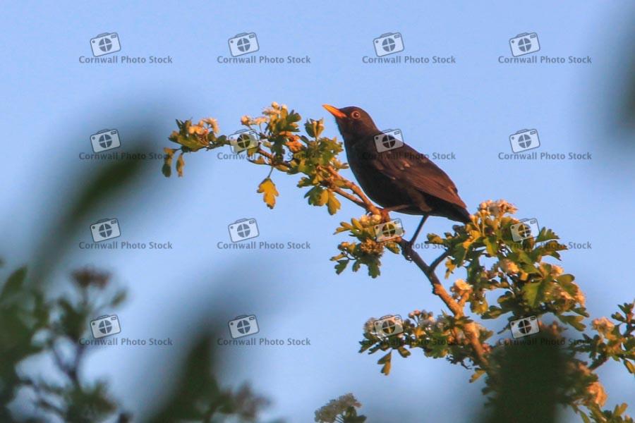 Blackbird On Hawthorn Branch