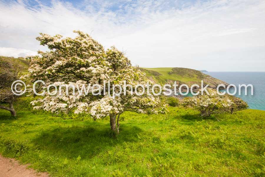 Hawthorn Tree In Full Blossom
