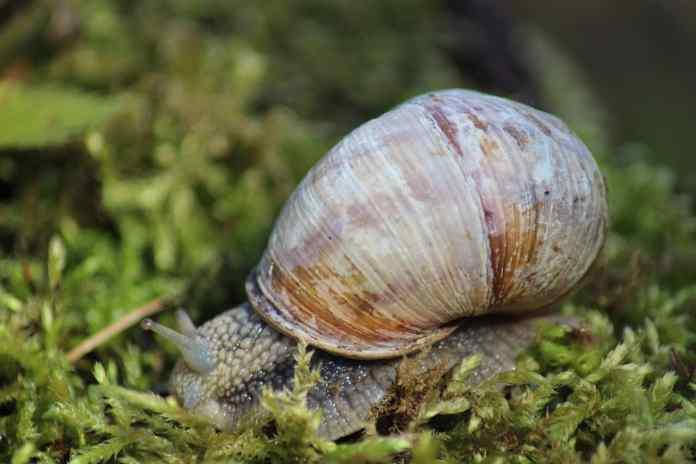 Photographie d'un escargot